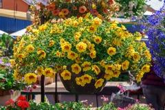 Färgglade petuniablommor för försäljning, på gatamarknad royaltyfri fotografi