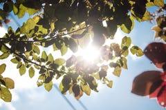 Färgglade plommonträdfilialer i solljuset Fotografering för Bildbyråer