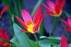 Färgglade rosa och gula tulpan Royaltyfria Bilder