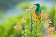 Färgglade Sunbird som matar Sydafrika Arkivbild