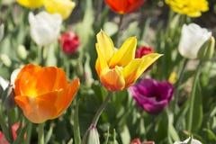 Färgglade tulpan i Nederländerna, Royaltyfri Fotografi