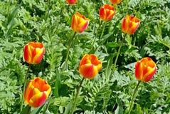 Färgglade tulpan som tycker om våren Royaltyfri Foto