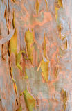 Färgglat australierGumtree skäll Arkivfoton