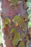 Färgglat australiskt eukalyptusträdskäll Fotografering för Bildbyråer