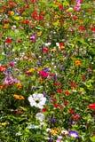 Färgglat fält av lösa sommarblommor Fotografering för Bildbyråer