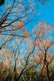 Färgglat höstträd mot blå himmel, Narita, Japan Royaltyfri Bild