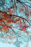 Färgglat höstträd mot blå himmel, Narita, Japan Royaltyfria Bilder