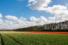 Färgglat tulpanfält i Nederländerna Arkivfoto