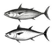 Färgpulver skissar av hoppbagge- och Atlantenbluefintonfisk Arkivbilder