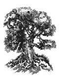 Färgpulverteckning Gammalt branchy lövfällande träd royaltyfri bild
