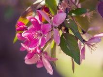 FärgpulvervårApple-blomning Arkivfoton