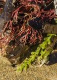 Färgrik alg Arkivbilder