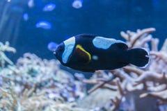 Färgrik Amphiprionpolymnus i korallrever fotografering för bildbyråer