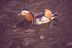 färgrik andmandarin Fotografering för Bildbyråer