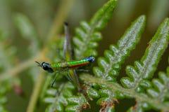 Färgrik apagräshoppa på ett ormbunkeblad - sidosikt arkivbild
