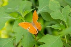 Färgrik apelsin batterfly med det gröna bladet Fotografering för Bildbyråer