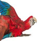Färgrik ara som isoleras på den vita bakgrunden Arkivfoto