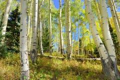 Färgrik asp i skogen under lövverksäsong Royaltyfri Foto
