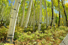 Färgrik asp i skogen under lövverksäsong Fotografering för Bildbyråer