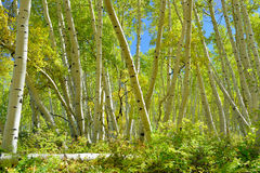 Färgrik asp i skogen under lövverksäsong Royaltyfria Bilder
