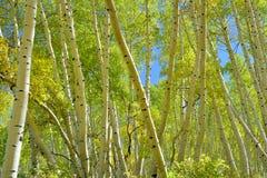 Färgrik asp i skogen under lövverksäsong Royaltyfria Foton