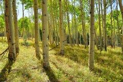 Färgrik asp i skogen under lövverksäsong Royaltyfri Bild