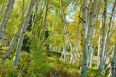 Färgrik asp i skogen under lövverksäsong Arkivfoton