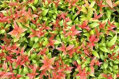 Färgrik bakgrund av det röda och gröna bladet Arkivfoto