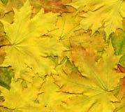 Färgrik bakgrund av gula höstsidor Arkivfoto