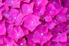 Färgrik bakgrund av härlig purpurfärgad hortensia - vanlig hortensia Arkivbilder