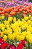 Färgrik bakgrund för tulpanblommaträdgård, naturbegreppsbakgrund, utomhus- dagljus Arkivfoto