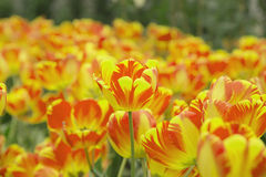 Färgrik bakgrundstextur för trädgårds- tulpan Arkivfoton