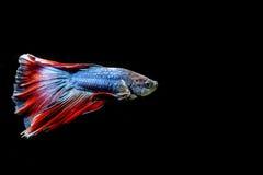 Färgrik bettafisk som isoleras på svart bakgrund Arkivfoto