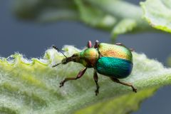 Färgrik blad-rullning vivel, Attelabidae på bladet royaltyfri foto