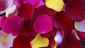 Färgrik blandning för kronblad för ros` s Royaltyfri Foto