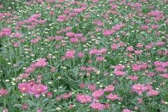 färgrik blomma för chrysanthemum IBLAND KALLADE MOR ELLER CHRYSANTHS Dendranthemum grandifflora fotografering för bildbyråer