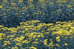 färgrik blomma för chrysanthemum IBLAND KALLADE MOR ELLER CHRYSANTHS Dendranthemum grandifflora arkivfoto