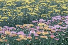 färgrik blomma för chrysanthemum IBLAND KALLADE MOR ELLER CHRYSANTHS Dendranthemum grandifflora royaltyfri foto