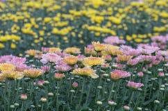 färgrik blomma för chrysanthemum IBLAND KALLADE MOR ELLER CHRYSANTHS Dendranthemum grandifflora arkivbilder