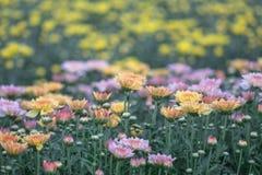 färgrik blomma för chrysanthemum IBLAND KALLADE MOR ELLER CHRYSANTHS Dendranthemum grandifflora arkivbild