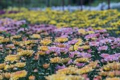 färgrik blomma för chrysanthemum IBLAND KALLADE MOR ELLER CHRYSANTHS Dendranthemum grandifflora royaltyfri bild