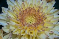 färgrik blomma för chrysanthemum IBLAND KALLADE MOR ELLER CHRYSANTHS Dendranthemum grandifflora royaltyfria bilder