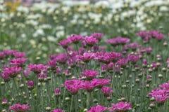 färgrik blomma för chrysanthemum IBLAND KALLADE MOR ELLER CHRYSANTHS Dendranthemum grandifflora royaltyfri fotografi