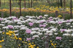 färgrik blomma för chrysanthemum IBLAND KALLADE MOR ELLER CHRYSANTHS Dendranthemum grandifflora royaltyfria foton