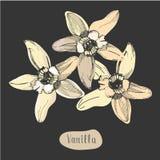 Färgrik blomma för vanilj som isoleras på den svart tavlan Arkivfoto