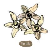 Färgrik blomma för vanilj som isoleras på den vita bakgrunden Royaltyfri Foto