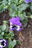 färgrik blomma Blomma i trädgård på solig sommar eller vårdagen arkivbilder