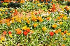 Färgrik blomma i trädgården Arkivbild