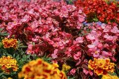 Färgrik blomma i trädgården, nätt ordning royaltyfri bild