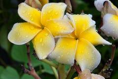 Färgrik blomma med droppvatten Royaltyfri Foto